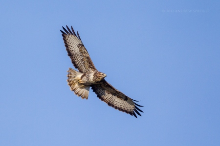 Common Buzzard in flight over farmland in mid Wales, UK